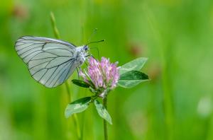 Schmetterling 4-3909