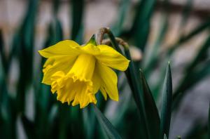 Osterglocke März (1 von 1)